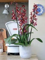 orchidee 88400