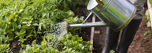 Economiser l'eau au potager