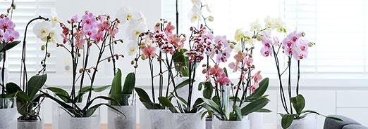 choisir une orchid e magasin point vert conseils pour. Black Bedroom Furniture Sets. Home Design Ideas