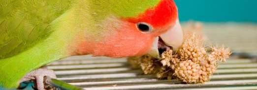 oiseaux-de-cage