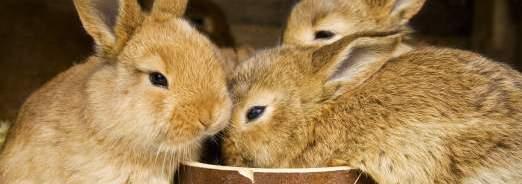L'essentiel sur les lapins