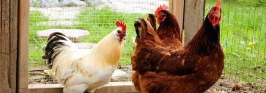 Tout savoir sur les poules