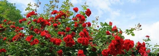 Les rosiers : les cultiver et les entretenir
