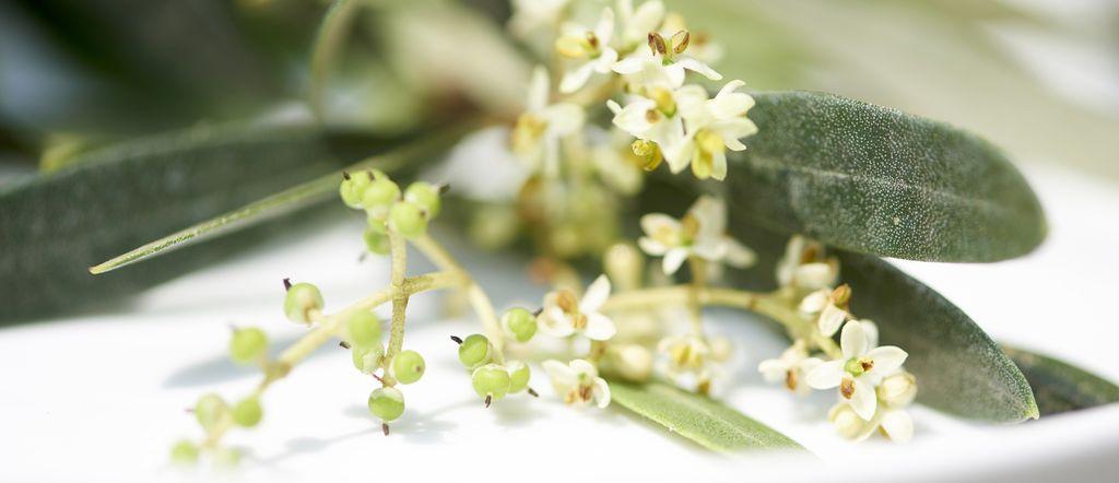 L'olivier : joyau de l'été