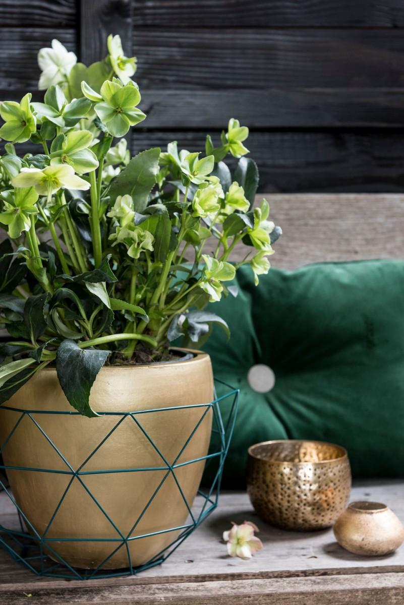 Hellebore Rose De Noel Entretien la rose de noël (hellébore), les conseils magasin vert :